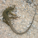 Ocellated Lizard (Spain)