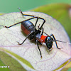 Ant mimicking katydid nymph