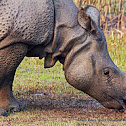 Indian Rhinoceros
