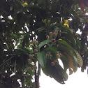 Golden Guinea Tree