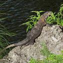 Black Spinytail Iguana