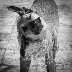 Dog spin drying! by . Reedd2 - Animals - Dogs Portraits ( water, daisy, shaking,  )