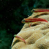 tropical striped Triplefin