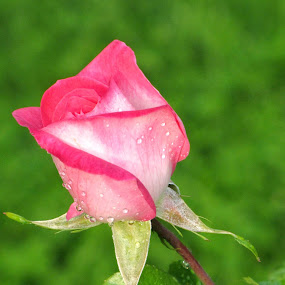 Natural Rose by Suaib Akhter - Flowers Single Flower ( natural rose, red rose. pink  rose, rose with leaves, rose in natural light, beautiful rose,  )