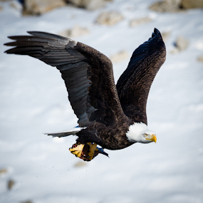 In the Cold by Mike Trahan - Animals Birds ( nature, bald eagle, mississippi )
