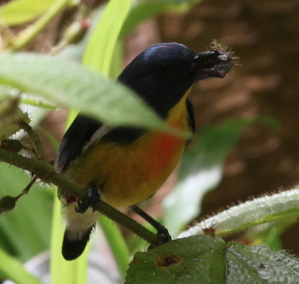 Yellow-rumped flowerpecker