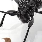 Black and White Longicorn Beetle