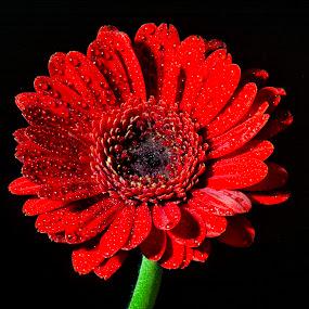 Red On Black by Darrell Evans - Flowers Single Flower ( red, petals, stem, waterdrops, black, flower,  )