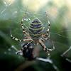 Wasp spider - Křižák pruhovaný