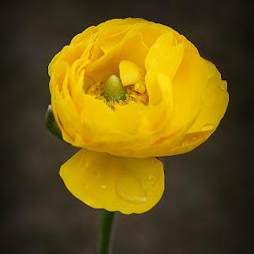 by Peeyush Sharma - Flowers Single Flower