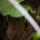 Eastern cottontail(Infant)
