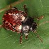 Russet Alder Leaf Beetle