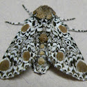 Harris's Three-spot Moth