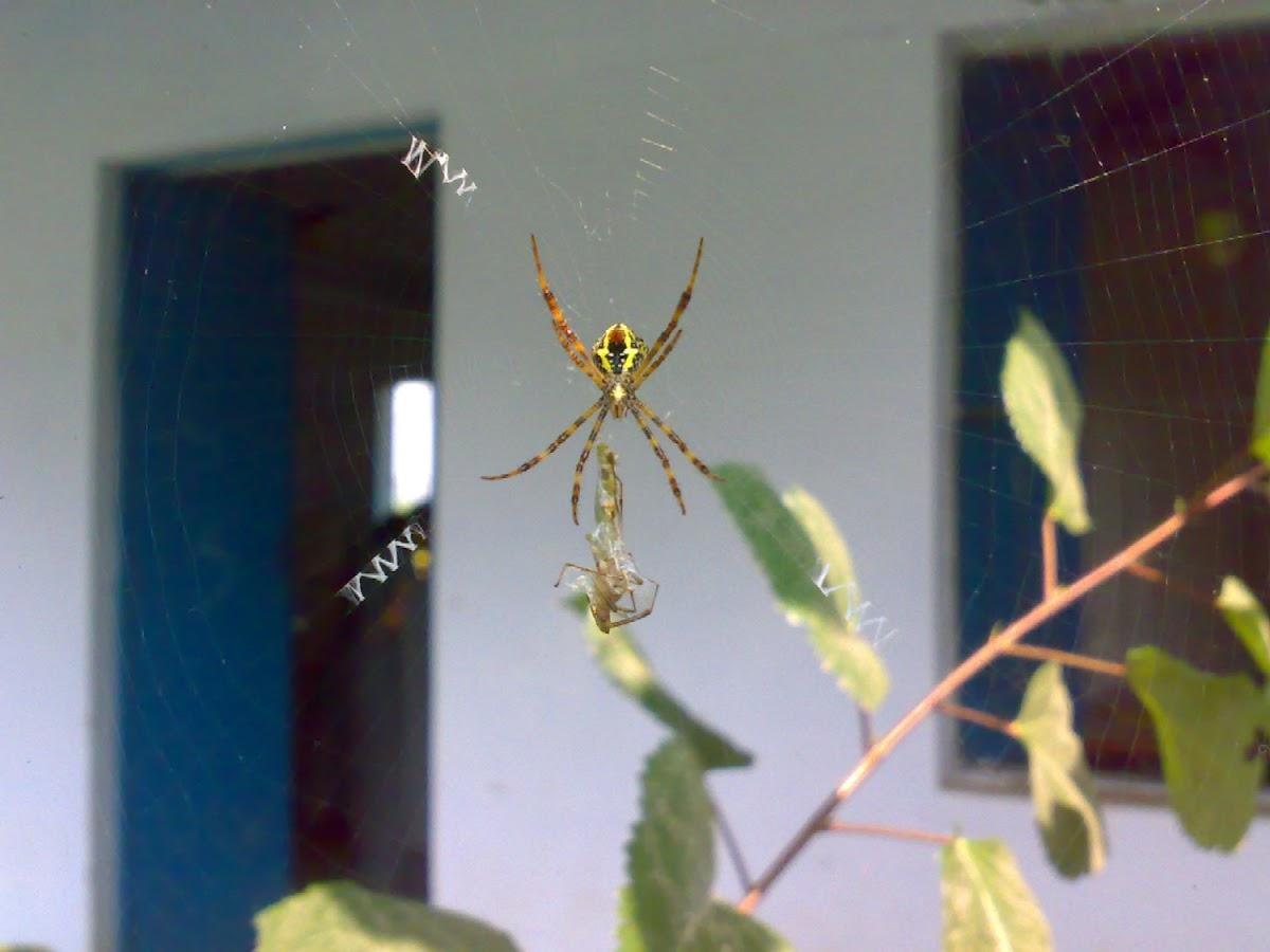 An unknown Spider
