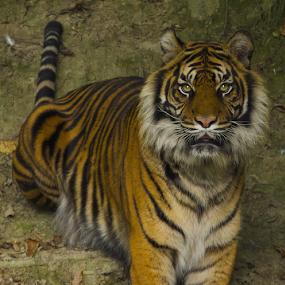 Active Tiger by John Dutton - Animals Lions, Tigers & Big Cats ( tiger, portrait )