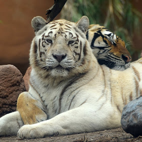 Hugs by David Montemayor - Animals Lions, Tigers & Big Cats ( white tiger, bengal tiger,  )