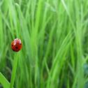 Seven-spot ladybug