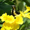 Purple sunbird (non-breeding male)  / Oodha Pitta Thenchittu (ஊதா பிட்ட தேன்சிட்டு)