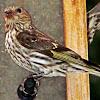 Gold Finch (Female)