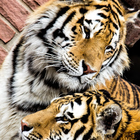 It's that way by Dale Versteegen - Animals Lions, Tigers & Big Cats ( directions, what was that, siblings, do you seen this,  )