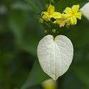 Yellow mussaenda
