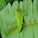 Bird Grasshopper - Juvenile
