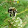 Longhorn Bee ♀