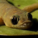 Common House Gecko or House Lizard