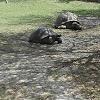 giant asian pound turtle