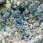 Spotted Boxfish (Male)/ Moa