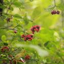 Hearts-a-bustin'/Strawberry Bush