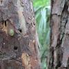 Spiny Oak Slug Caterpillar