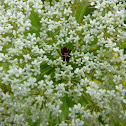 Queen Anne's-Lace