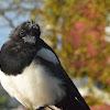 Eurasian Magpie (Juvenile)