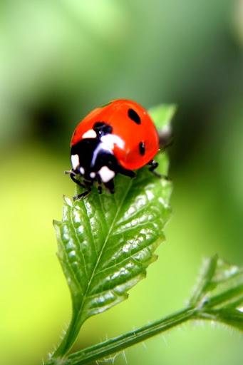 Glittering Ladybug Free LWP