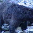 Glacier Black Bear