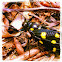 Speckled Black Cicada