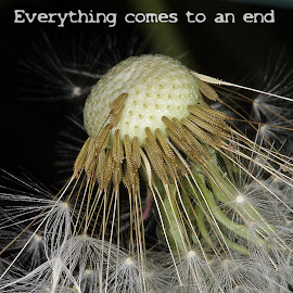 Everything comes to an end by Charles KAVYS - Typography Captioned Photos ( detail, dandelion, everything comes to an end, black, end,  )
