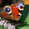 Mariposa pavo real, european peacock