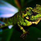 Kuhl's Angle-headed Lizard