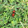 "Red velvet ant or ""cow killer"""
