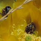 Opuntia Beetle