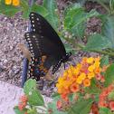 Black swallowtail buterfly