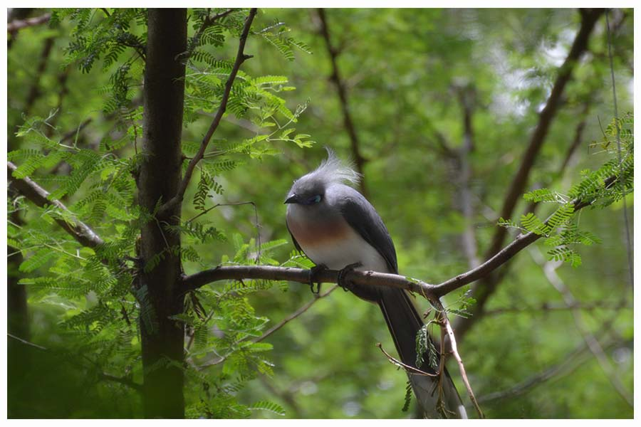 The Crested Coua