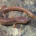 Scott Bar salamander