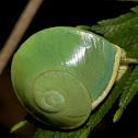 Green Land Snail