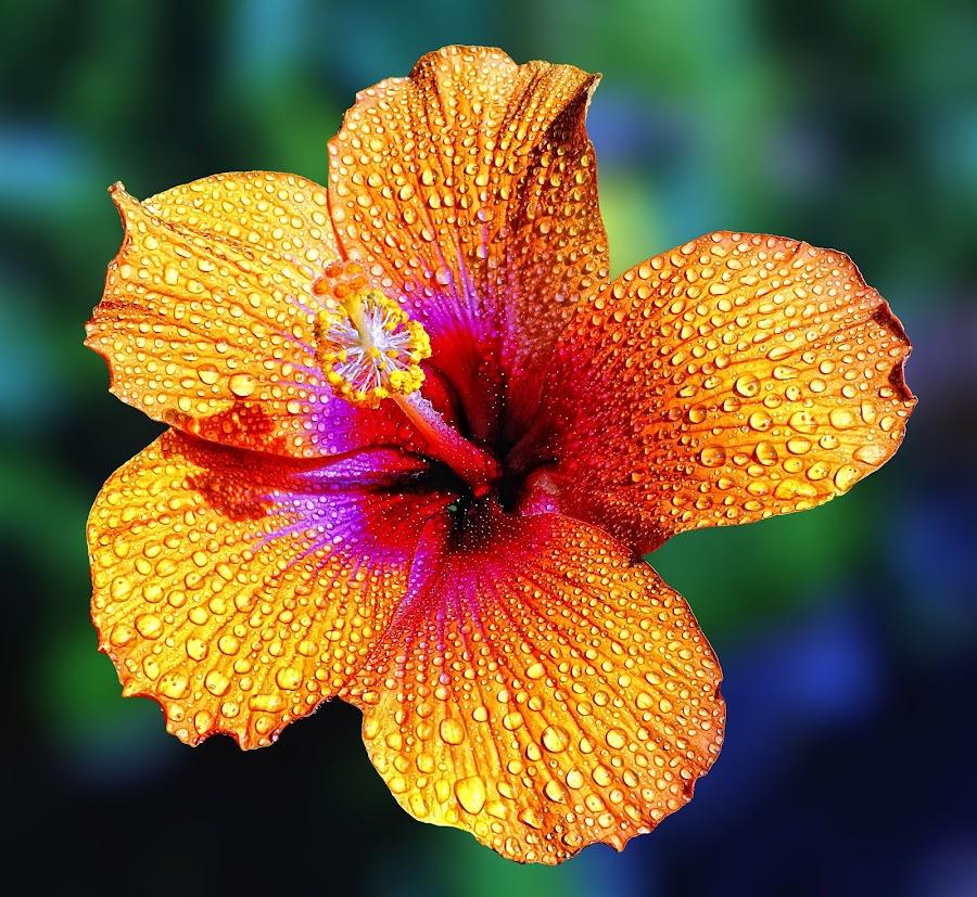 by Onihg Elizalde - Flowers Single Flower