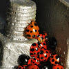 Lady Beetles/ Ladybugs/ Ladybirds