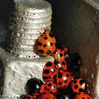Lady Beetles/ Ladybugs/ Ladybirds
