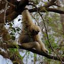 Lar gibbon (white-handed gibbon)